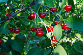 Ripe cherries on a tree among the leaves. Summer garden berries. Sunny day.
