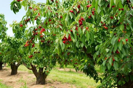 Ripe cherries on a tree