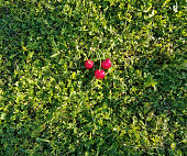 Ripe cherry fruits on a green grass background.