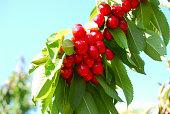 ripe cherries on the tree against blue sky, image