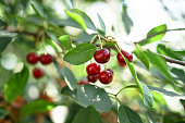 Ripe cherries on the tree in summer. Juicy natural fruits and berries in the garden. Stock background, photo