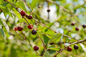 ripe cherry berries on the branches of a tree