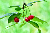 Ripe cherry on a branch in the garden