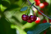 Ripe cherry on a branch in the garden in sunny weather