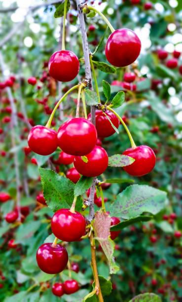 Ripe cherry on a branch stock photo
