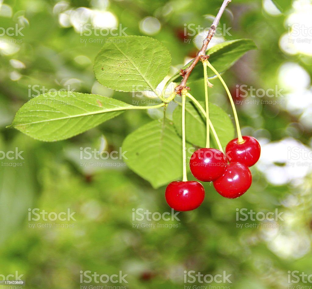 Ripe cherry on the branch royalty-free stock photo