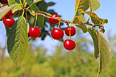 Ripe cherry fruit on a tree, ready for picking
