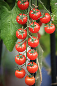 Ripe cherry tomatoes on the plant