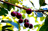 Ripe cherry tree. Red and sweet cherries on a branch just before harvest in early summer