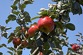 Ripe apples on the branch before harvesting, autumn time; fruit and leafes