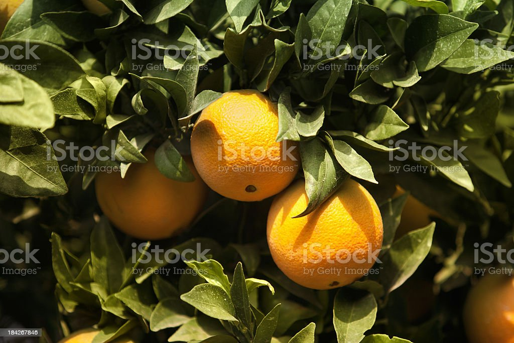 Ripe citrus grove royalty-free stock photo