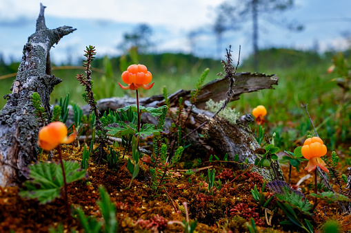 Ripe cloudberry grows on a swamp in Russia.
