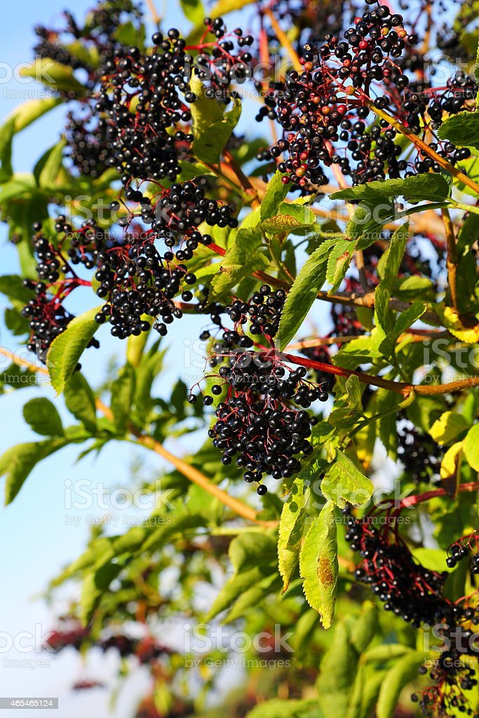 Ripe cluster of Elder berries on the tree stock photo