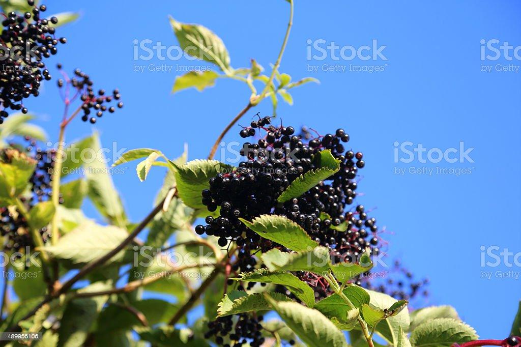 Ripe cluster of Elder berries on the tree stock photo