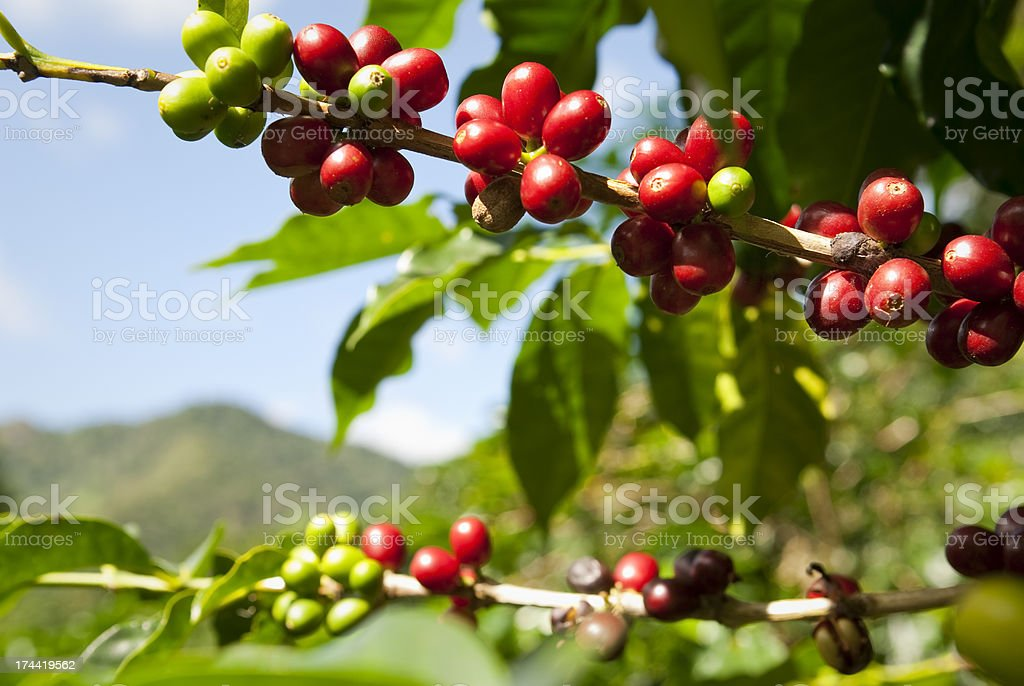 Ripe coffee beans (cherries) in mountains of Panama royalty-free stock photo