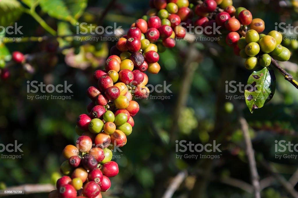ripe coffee plantation farm stock photo