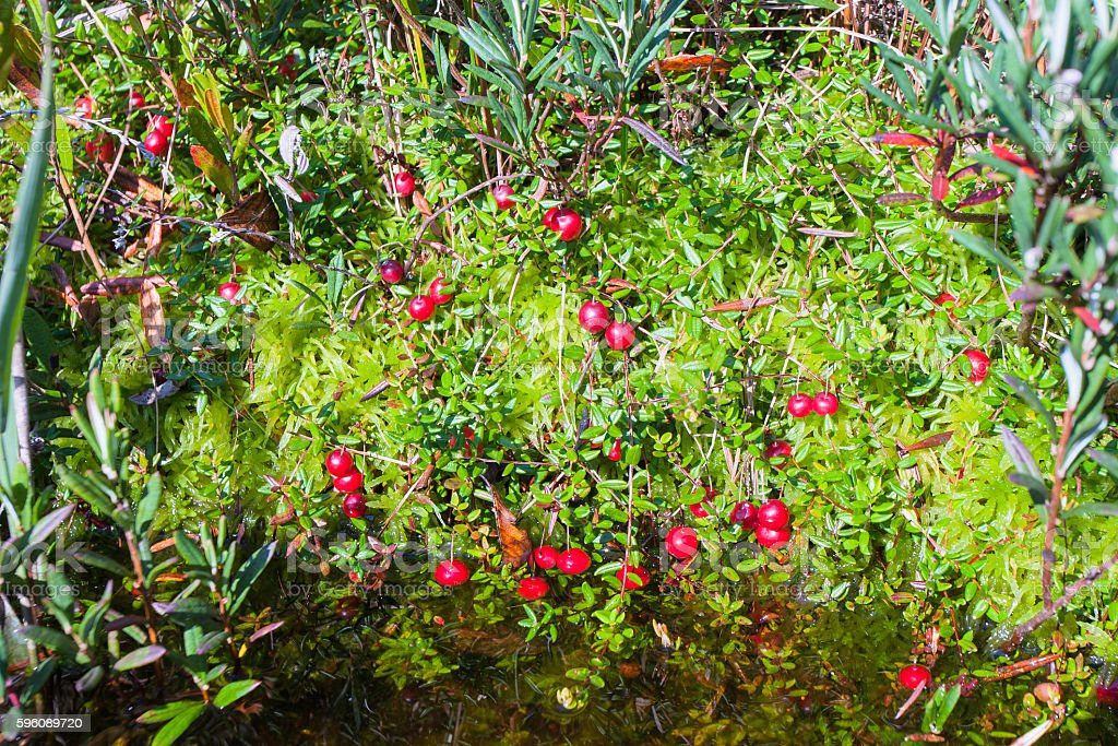 Ripe cranberries grow from under the moss royalty-free stock photo