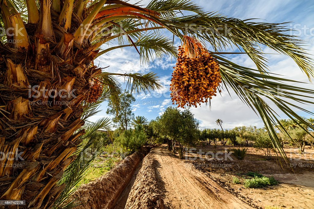 Ripe dates on a palm tree in Palmeraie, Skoura, Morocco stock photo