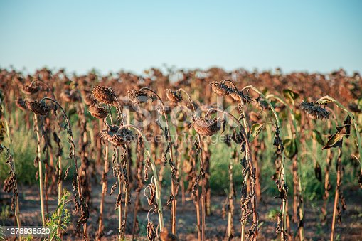 Ripe dried, ripe sunflowers on a farm field awaiting harvest on a sunny day. Field crops.