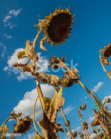 Ripe dry sunflowers against the blue sky. Summer season, august. Design element, cover. Web banner.