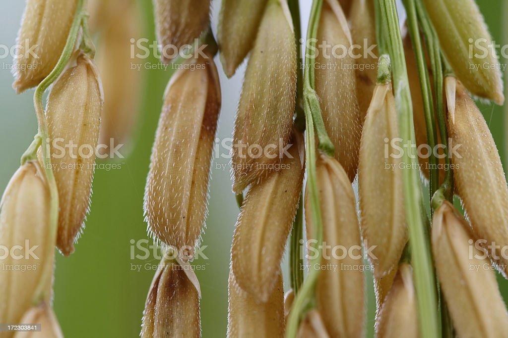 Ripe ear of paddy royalty-free stock photo