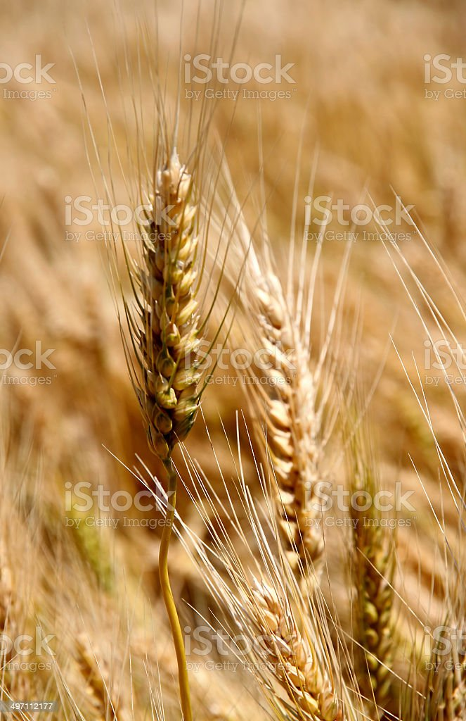 ripe ear of wheat in June stock photo