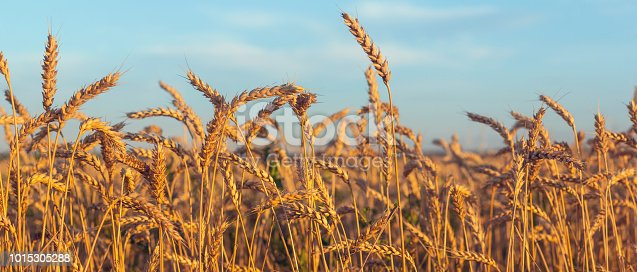 Ripe ears of wheat lit by the morning sunlight.