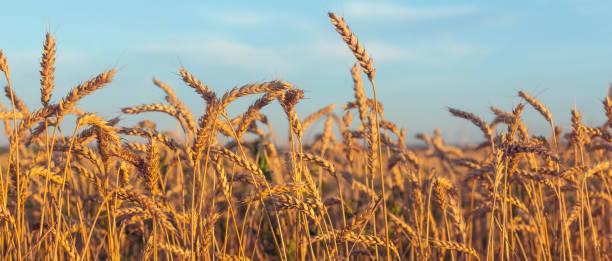 mavi gökyüzü olgun kulaklar - buğday stok fotoğraflar ve resimler
