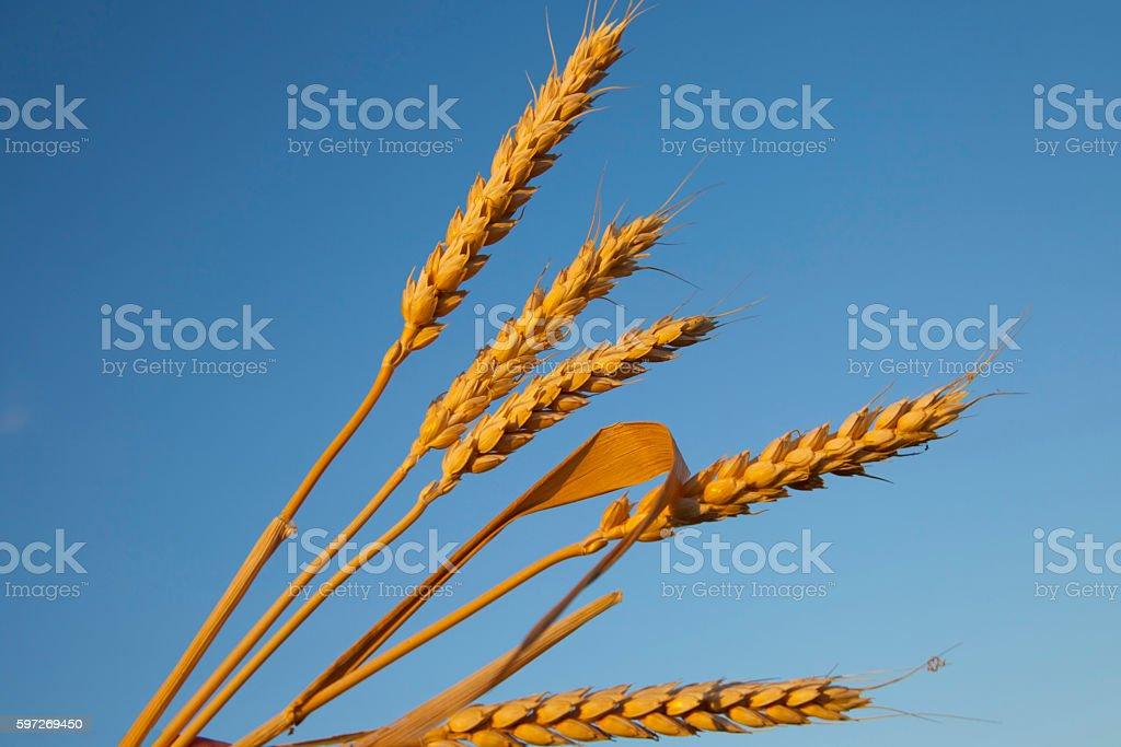 ripe ears of corn evening Lizenzfreies stock-foto