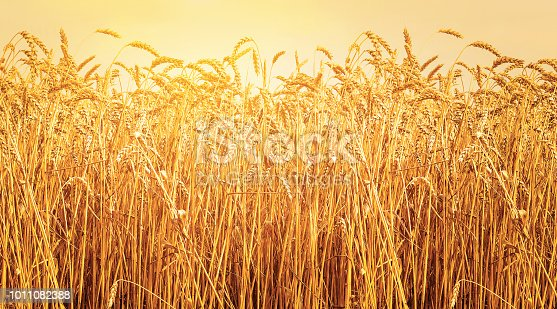 istock Ripe ears of wheat in field during harvest. Sunset. Agriculture summer landscape. Rural scene 1011082388