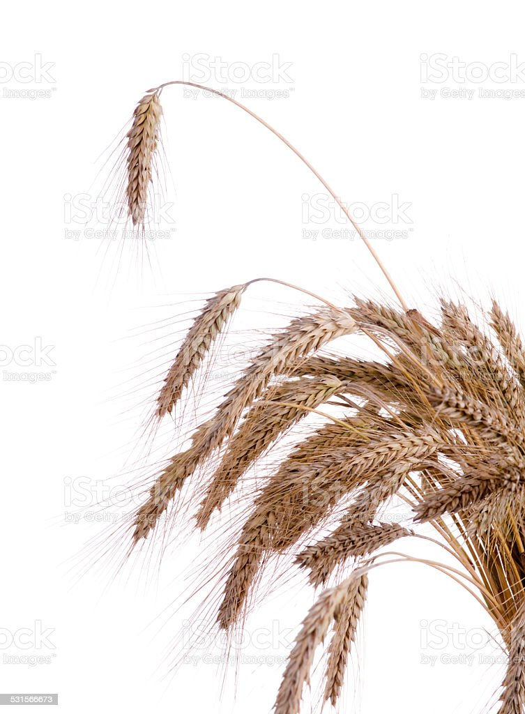 Ripe ears of wheat on a white background stock photo