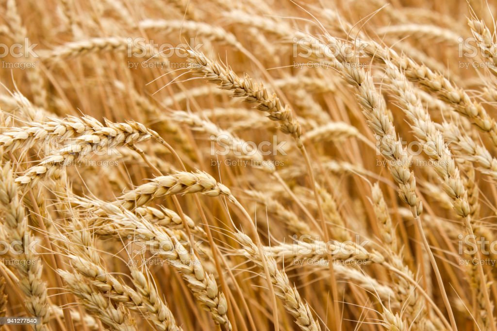 Ripe ears of wheat stock photo