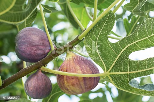 istock Ripe fig fruits on the tree. 504336570