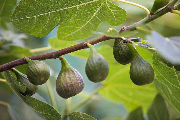 Ripe figs on a fig tree stock photo