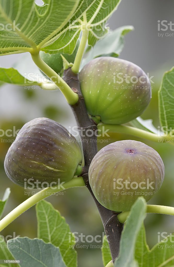 Ripe figs on a tree stock photo