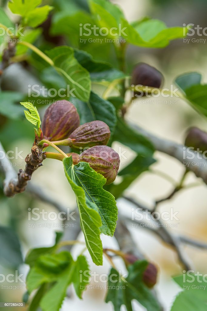 ripe figs on a tree ready for picking stock photo