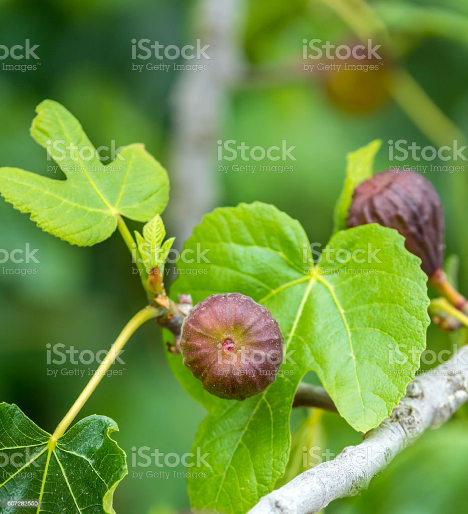 ripe figs on the tree ready for picking stock photo