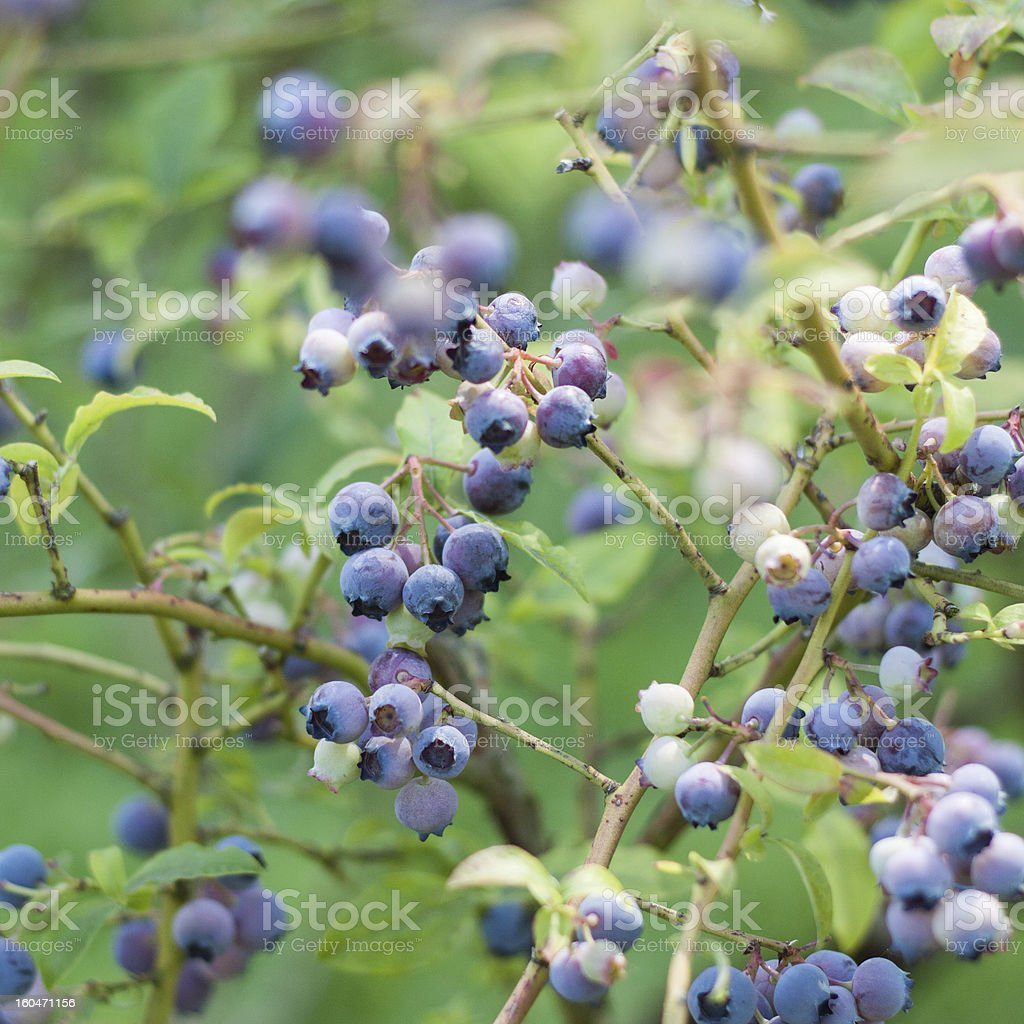 Ripe Fresh Blueberries royalty-free stock photo
