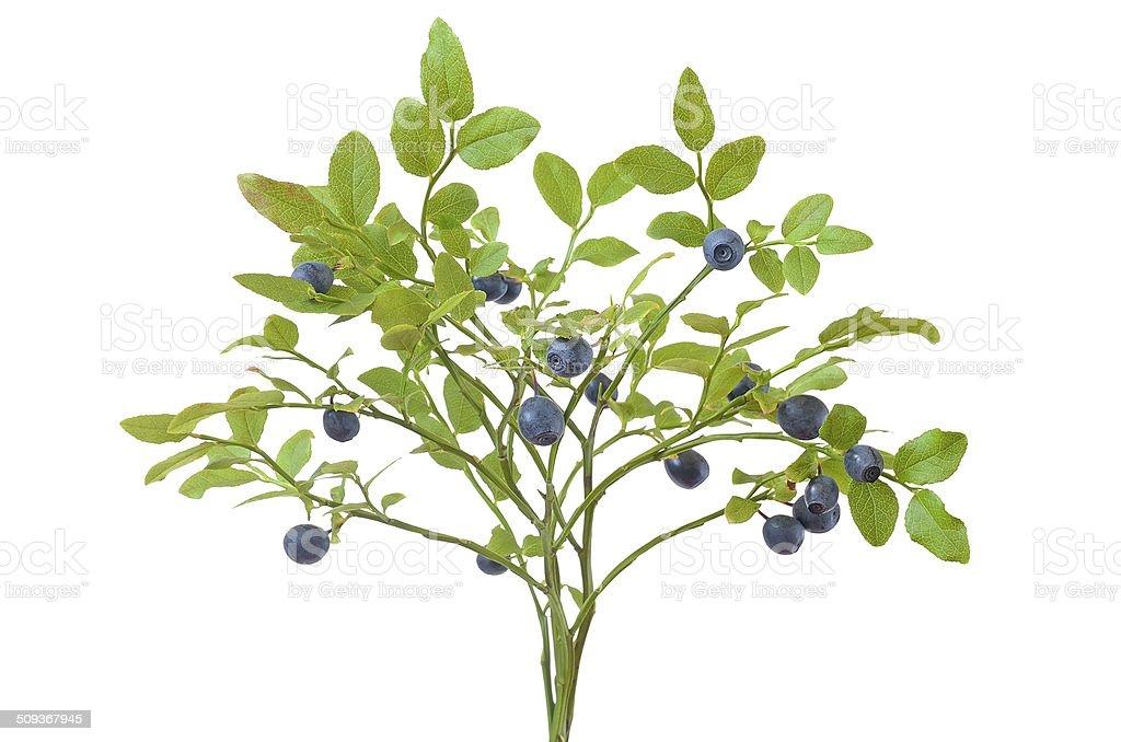 Ripe fresh blueberry branch stock photo