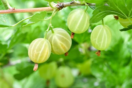 Ripe fresh green gooseberries in the garden.