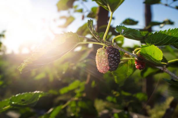 Fruta madura y el follaje de Morera negra o Morus nigra - foto de stock