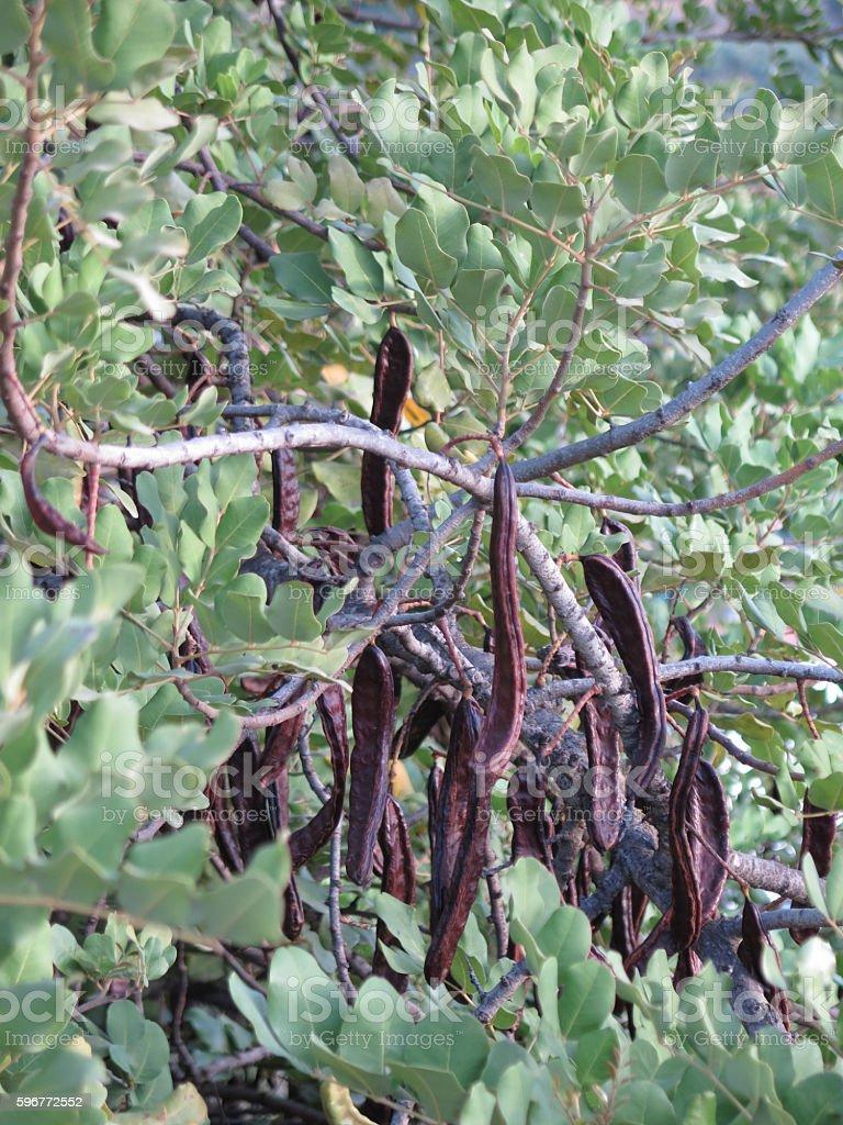 Ripe fruit on Carob Tree - foto de acervo