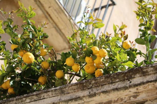 reife früchte bei lemon tree am domplatz in ortygia syrakus, sizilien, italien - syrakus stock-fotos und bilder