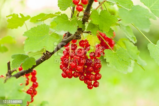 istock ripe fruits of red currant 1215146565