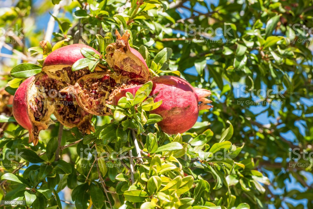 Ripe fruits of the pomegranate tree stock photo
