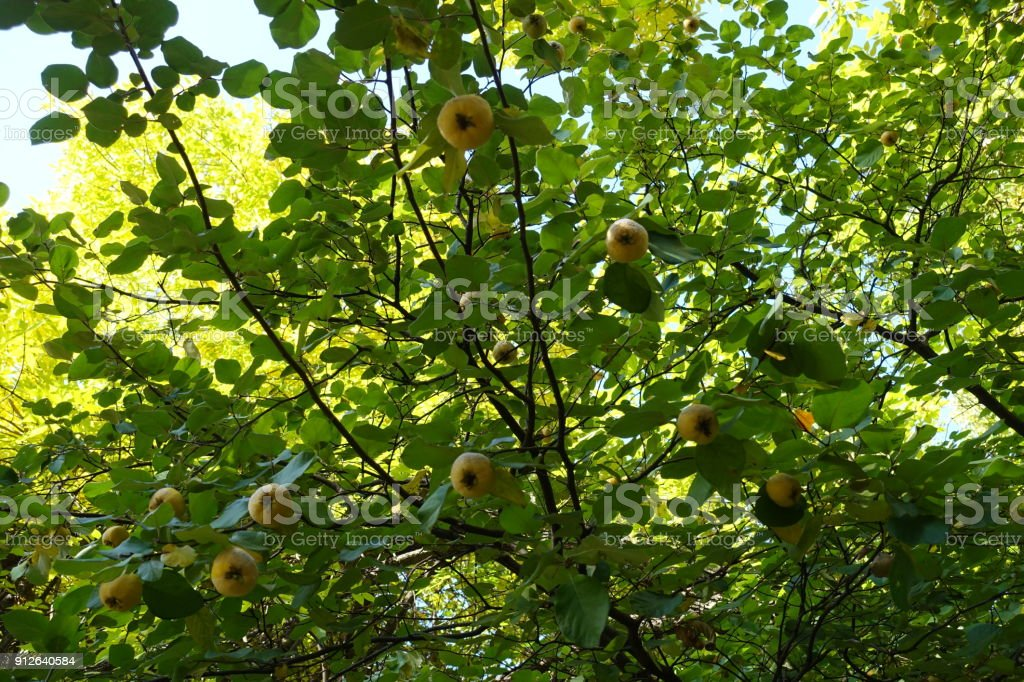 Ripe fruits on the branches of quince tree stock photo