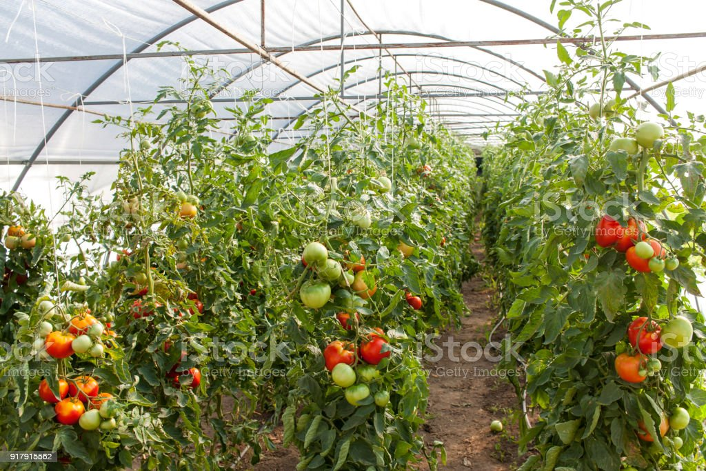 Ripe garden tomatoes ready for picking. stock photo