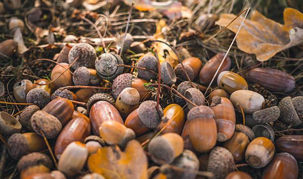 Ripe Golden acorns. Beauty of autumn nature stock photo