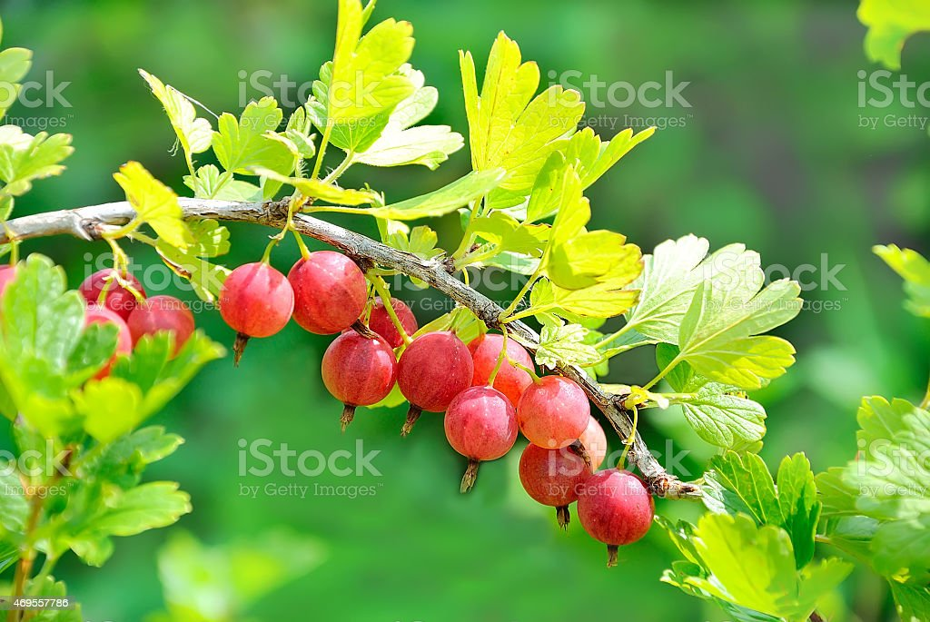 Ripe gooseberries stock photo