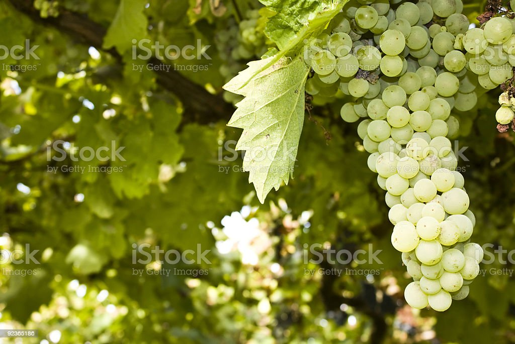Ripe grape cluster in a vine royalty-free stock photo